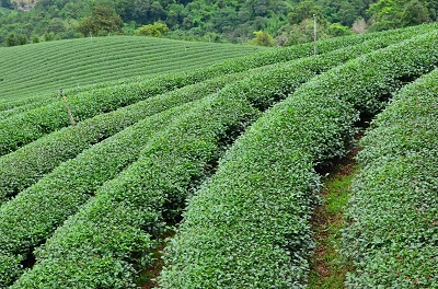 Tea plantations in Thailand