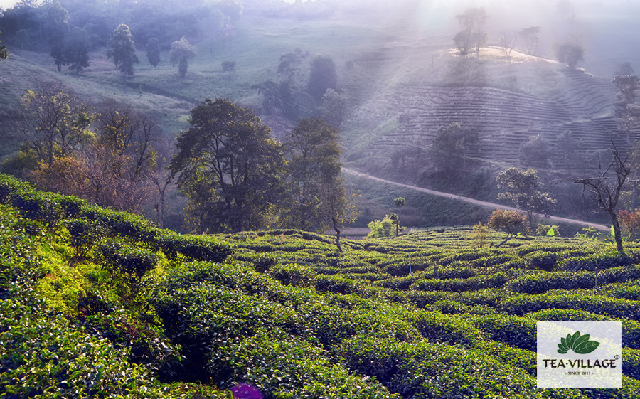 Чай в Чиангмае оптом и в розницу
