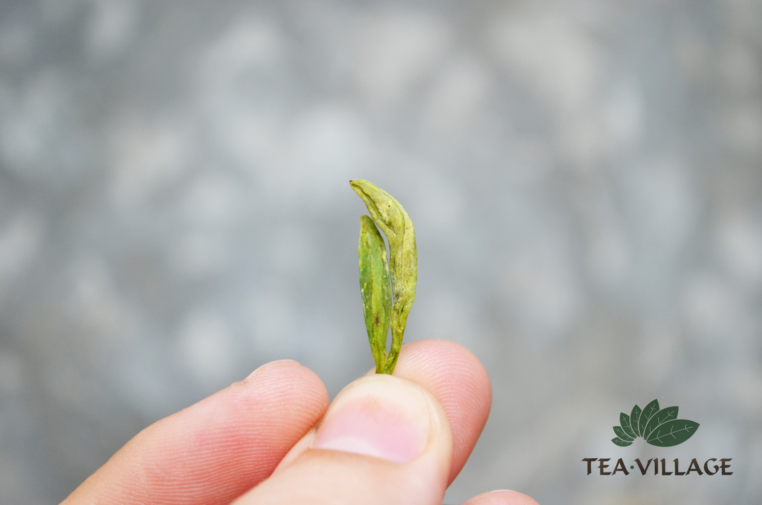 Longjing spring 2016 at Tea Village