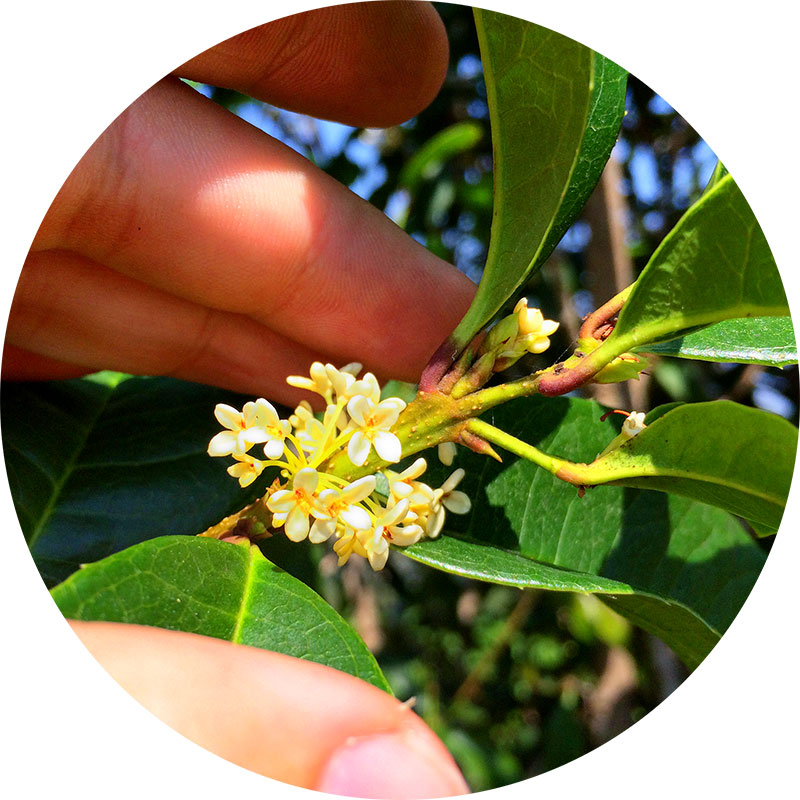 100% Natural Osmanthus Flowers