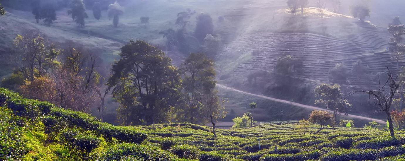 พื้นที่ปลูกชา